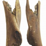 Rijeka Drava, Mammuthus primigenius - nadlaktična kost, MGKc 11214